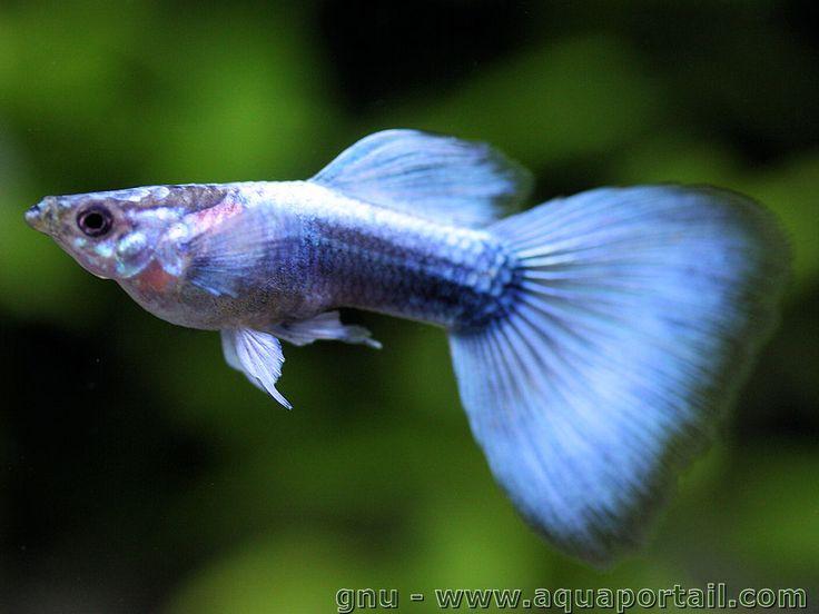 Poecilia reticulata (Guppy) - AquaPortail