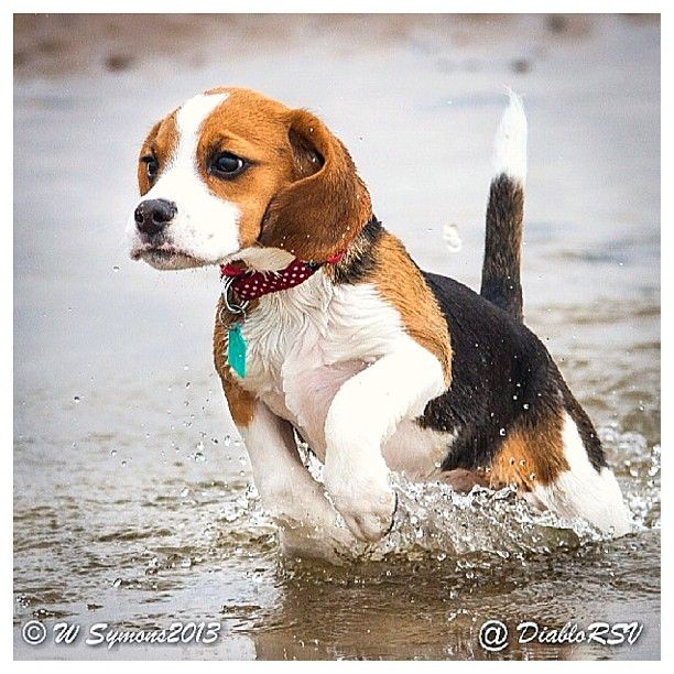 Beagle Running Look at this beautiful...