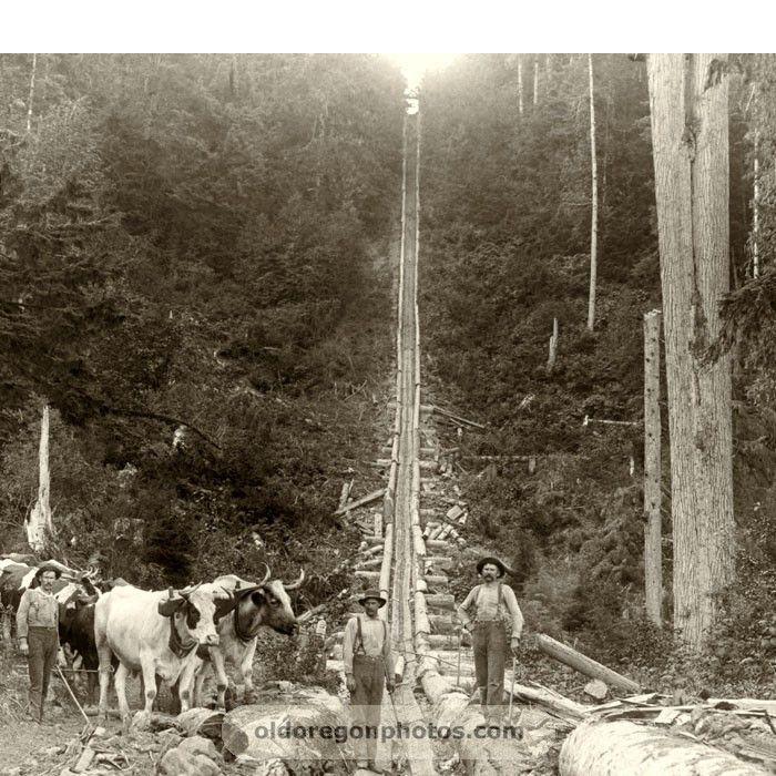 Log Chute with Ox Teams - 1890s