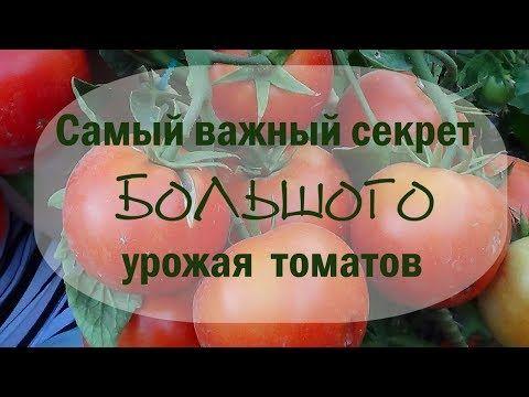 Самый важный секрет большого урожая томатов - YouTube