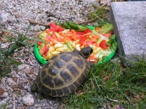 Learn the secrets to replicating what your Russian (Horsefield) tortoise would eat in the wild. This is what you must be feeding him to peak health and happiness!!!