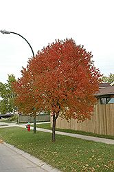Click to view full-size photo of Pincherry (Prunus pennsylvanica) at Cannor Nurseries
