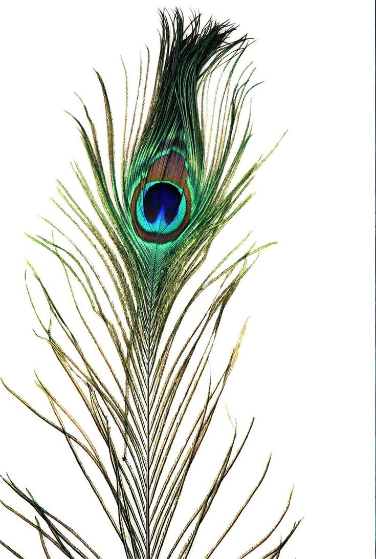 Peacock feather fabric shower curtain quot teal peacock feather quot green - Peacock Feather