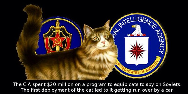 Acoustic Kitty of the CIA - The CIA decided to implant listening devices into the cat's ears and then train them to obey them so they could go exactly where they wanted them to and where they were told. That alone is a hell of a task! Not even a cat version of Cesar Milan can accomplish that on a cat. The CIA opened up their new program called Project Acoustic Kitty, a 5 year long, 20 Million dollar program.