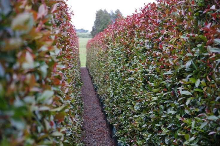 clothing outlets in pa Hedge from Twining Valley Nurseries  39  Living Walls