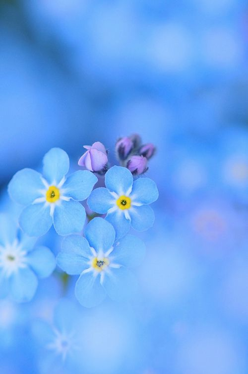 Forget-me-not-02.jpg