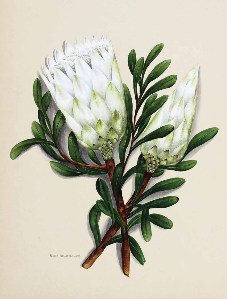 Flowers of South Africa, Cape Peninsula, 1903. Private portfolio, unknown artist.