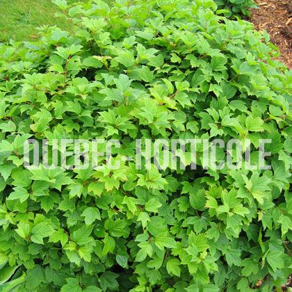 17 meilleures id es propos de arbuste d ombre sur pinterest arbuste ombre arbuste japonais. Black Bedroom Furniture Sets. Home Design Ideas