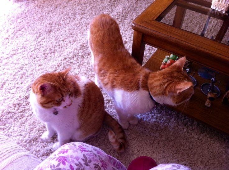 Alexa y Donatello, mis hijos peludos menores. #gatos #cats #rojos #gingercats