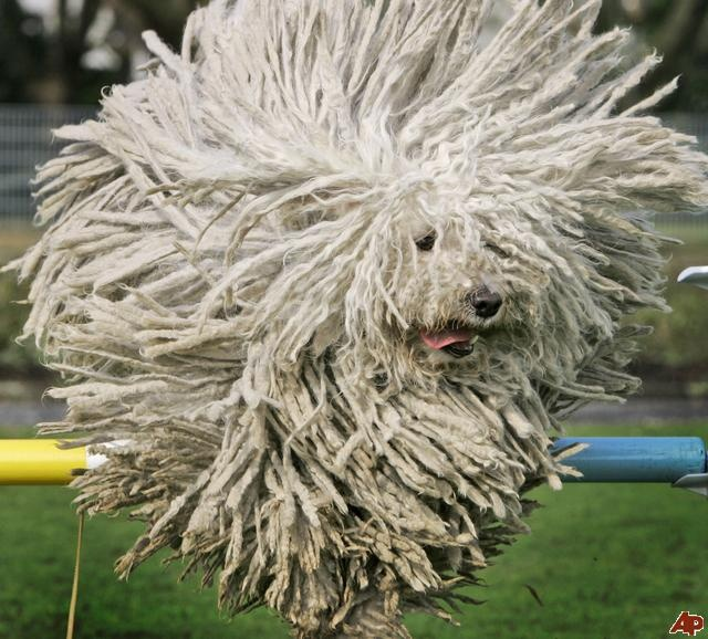 Hungarian Puli sheep dog, Fee, jumps over a hurdle during a preview for a pedigree dog show in Dortmund on Thursday April 24, 2008. (AP Photo/Frank Augstein) AP