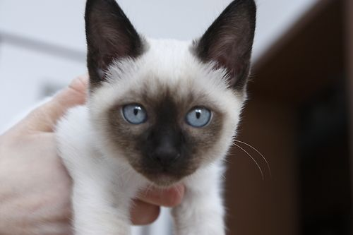 Siamese  kitten. This will grow to be a lovely Siamese, the face has wonderful markings.Tumblr