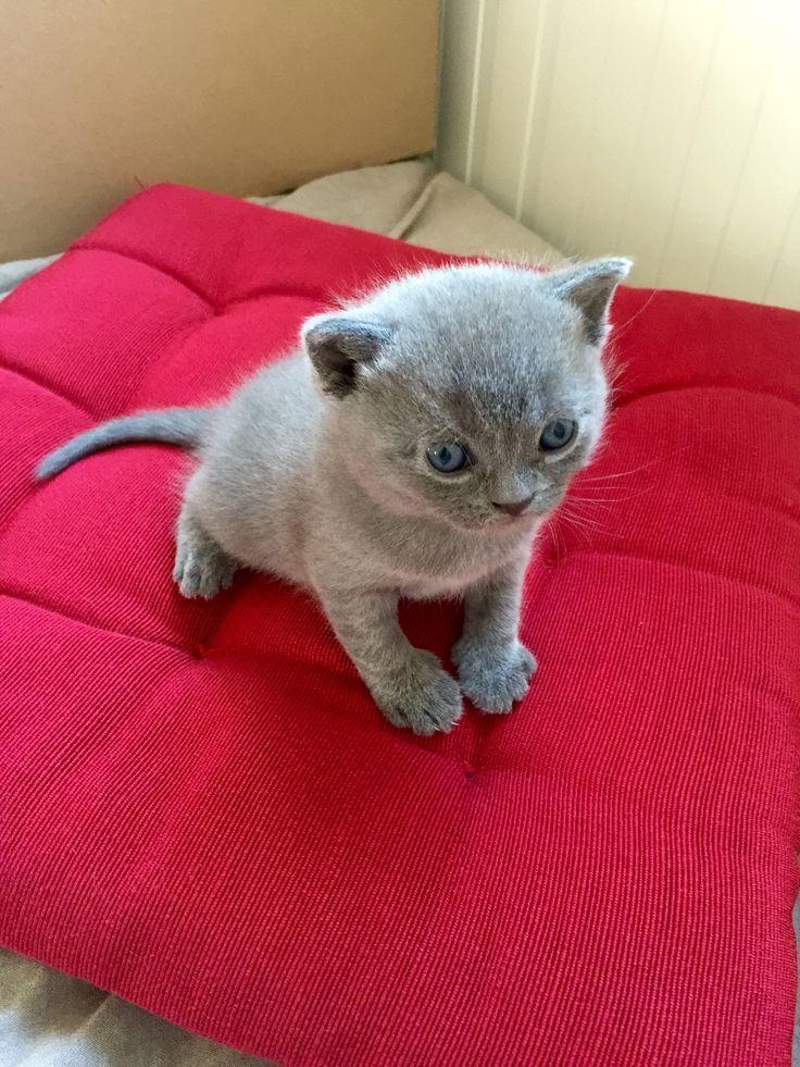 Bleu British Shorthair kitten. 3 weeks => http://www.leboncoin.fr/animaux/815600566.htm