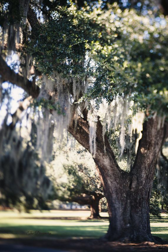 A New Orlean's Daydream - New Orleans photography, spanish moss, city park, nola, oaks