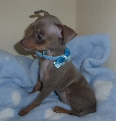 Russian Toy Terrier Russkiy Pups Lilac & Tan | Castle Douglas, Kirkcudbrightshire | Pets4Homes
