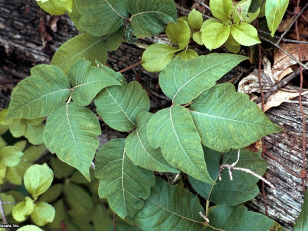 These pictures of poison ivy help you identify the pervasive plant. HGTV Gardens blogger Meagan Francis also describes how to remove poison ivy.