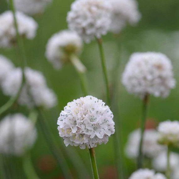Armeria maritima 'Alba' Pure White  Great for by CaribbeanGarden