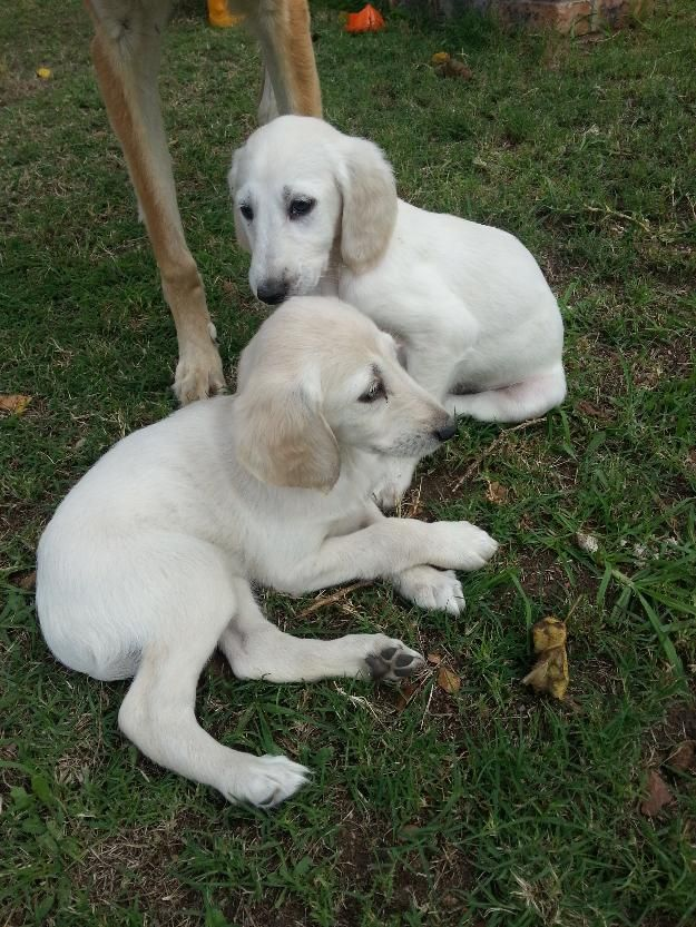 31 Best Images About Saluki On Pinterest The Breed Dog