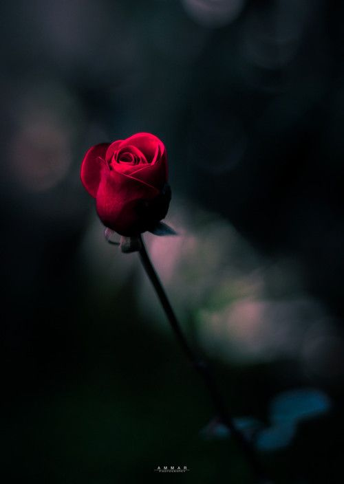 Pin By Roza On Red Flowers Pinterest Red Roses Rose And