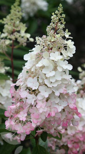 Hydrangea paniculata 'Pinky Winky has white, fading to dark pink, panicles in late summer held on stout upright stems.  Ht 1.5m if left unpruned.