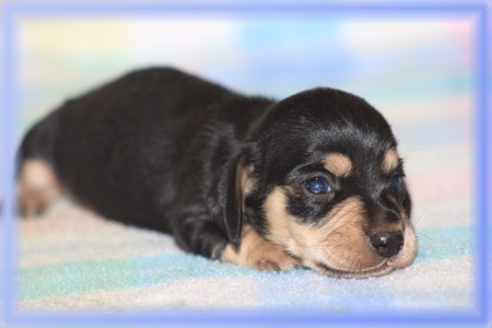 Delilah's Puppies / Miniature Dachshund puppies for sale