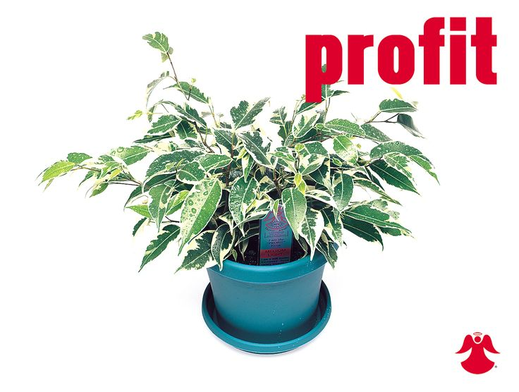 Ficus Profit. Ficus Benjamina is the backbone of most house ficus varieties. In nature this graceful tropical tree of dense growth, forming aerial roots, and with branches of somewhat pendant habit originates from India, Southeast Asia and Australia.