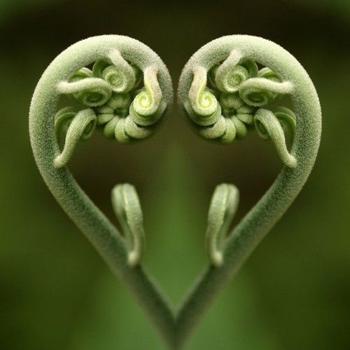 Fern frond heart ... for Valentine's Day