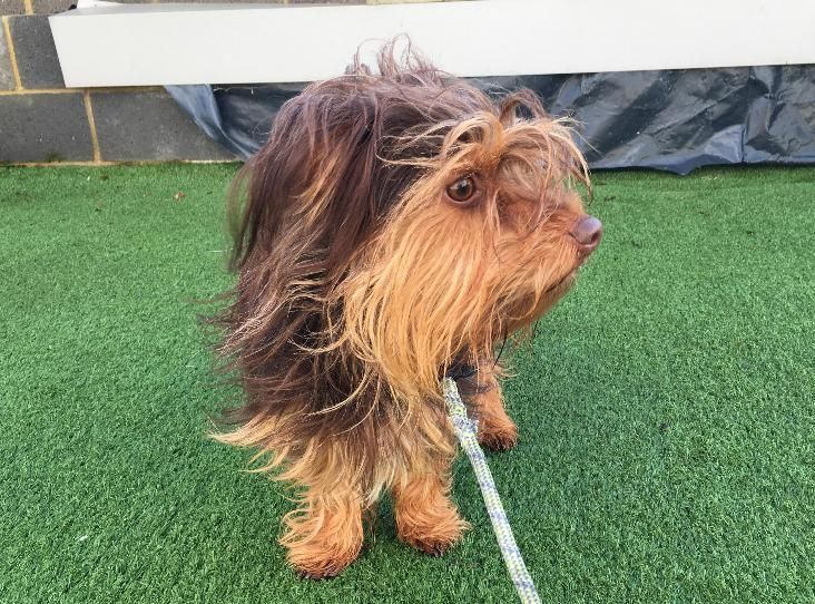 Pin On Yorkie Crossbreeds
