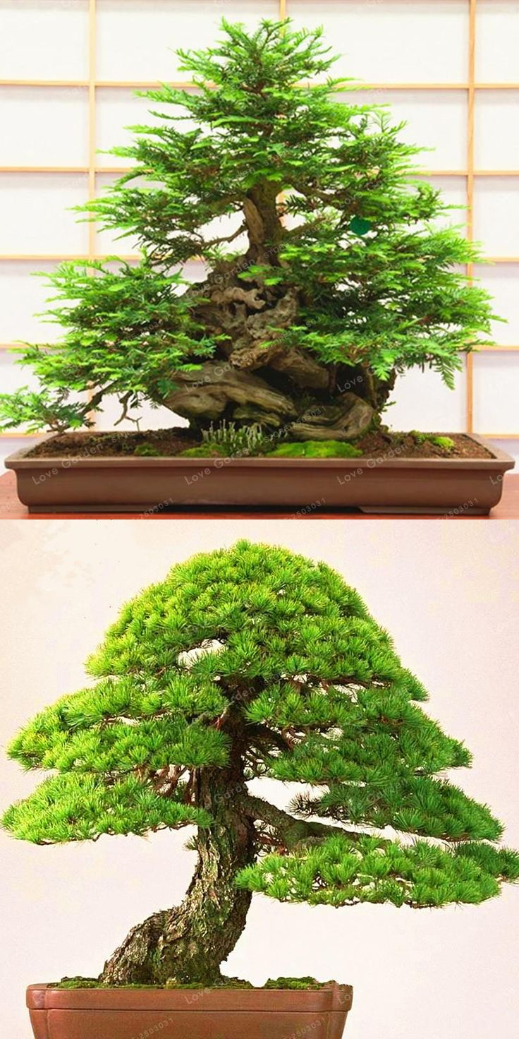 [Visit to Buy] Hot Sale Coast Redwood Seeds Sequoia Sempervirens Bonsai Tree Seeds Potted For Home Garden Easy To Grow 30 Pcs/Bag #Advertisement