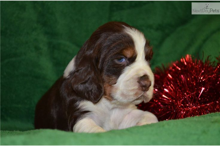 english springer spaniel males pictures | English Springer Spaniel for sale for $650, near Greenville / Upstate ...