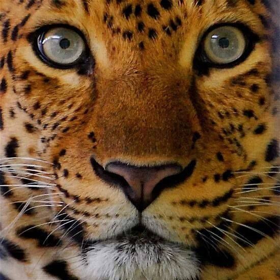 Beautiful close-up of a leopard's eyes The cat family of Panthera (leopard, lion, tiger, jaguar) have round pupils. Other cats including the cougar,snow leopard have vertical pupils. Photo Credit: https://www.pinterest.com/pin/444941638156888985/