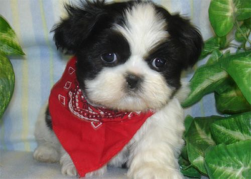 Kooskie Kennels: Shih Tzu Puppy For Sale, Shih Tzu Breeder, Shih ...