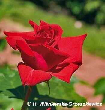 Róża wielkokwiatowa 'Uncle Walter' Rosa 'Uncle Walter'  Krzew silnie rosnący (do 2 m wysokości). Pędy silne, proste, pokryte ciemnozielon...