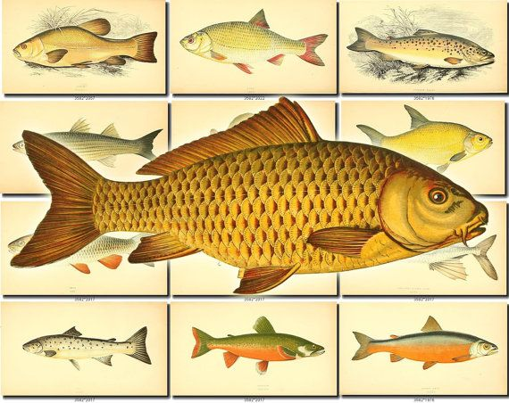 FISHES-13 Collection of 105 vintage images Goldfish Bream