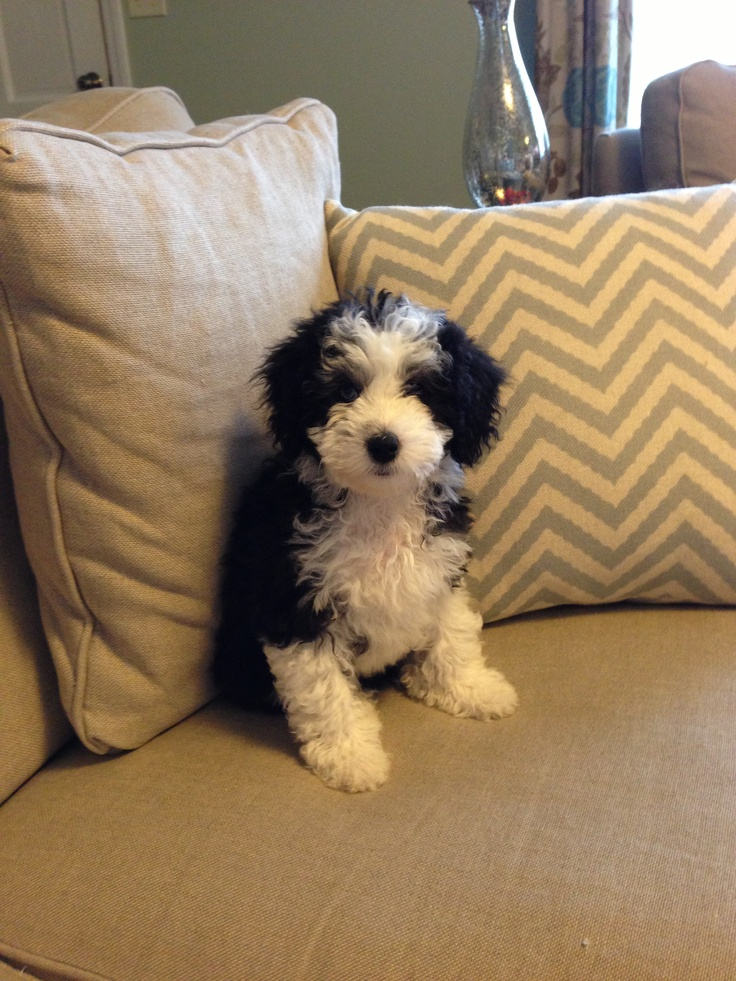 Aussiedoodle sweet Dogs