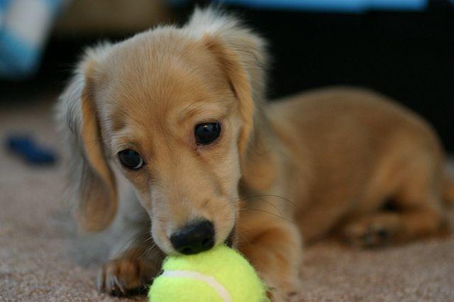 Winnie And A Mini Tennis Ball 1 Dachshund Puppies Dog Corner
