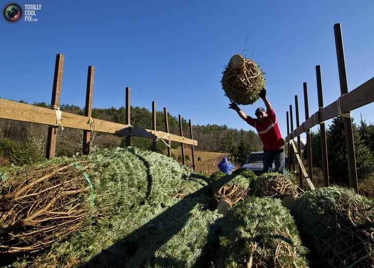 Приближаются рождественские и новогодние праздники. И хотя на дворе еще только ноябрь, в Северной Америке уже начинается настоящий ажиотаж, связанный с покупкой рождественских елок. А как же их выращивают в Соединенных Штатах? Работники на ферме в Джефферсоне, штат Северная Каролина, срубят в этом году около 65 тысяч новогодних елок. Кроме того, именно эта ферма в этом году поставила 6 метровую ель для Белого дома. На территории Северной Каролины существует порядка 1500 фермерских хозяйств…