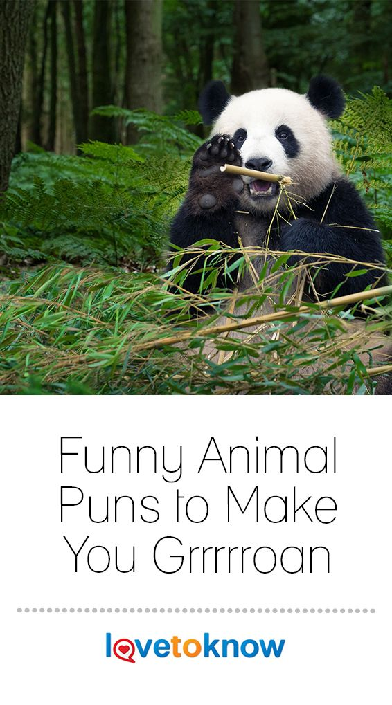 Funny Animal Puns To Make You Grrrrroan Lovetoknow Panda Facts Panda Facts For Kids Animal Facts For Kids