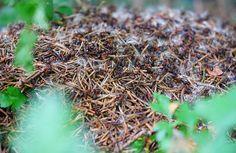 Détruire un nid de fourmis, trucs et astuces pour éliminer rapidement les nids de fourmis!