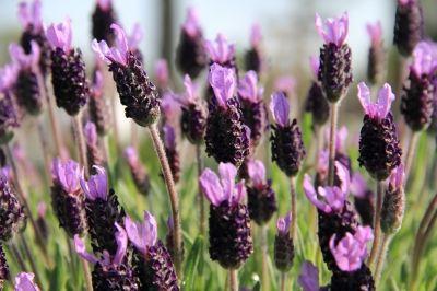 1000 ideas about lavendel schneiden on pinterest. Black Bedroom Furniture Sets. Home Design Ideas