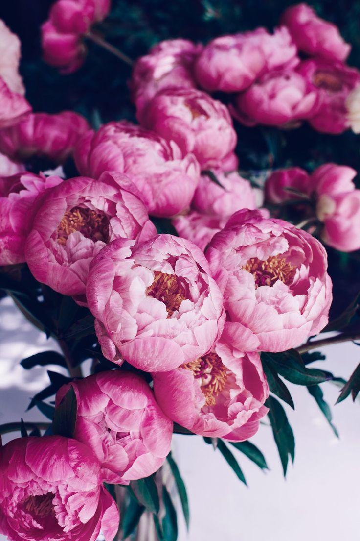 Красивые картинки на телефон цветы пионы