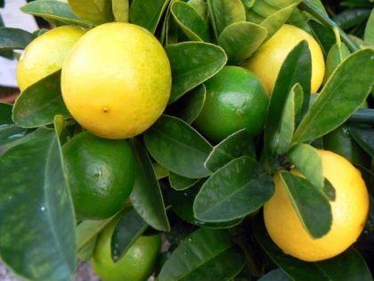 Limequat (30/40cm) < Akciós (Citrus aurantifolia×Fortunella japonica 'Eustis'): Citrusfélék | Ár: 4500.00 Ft