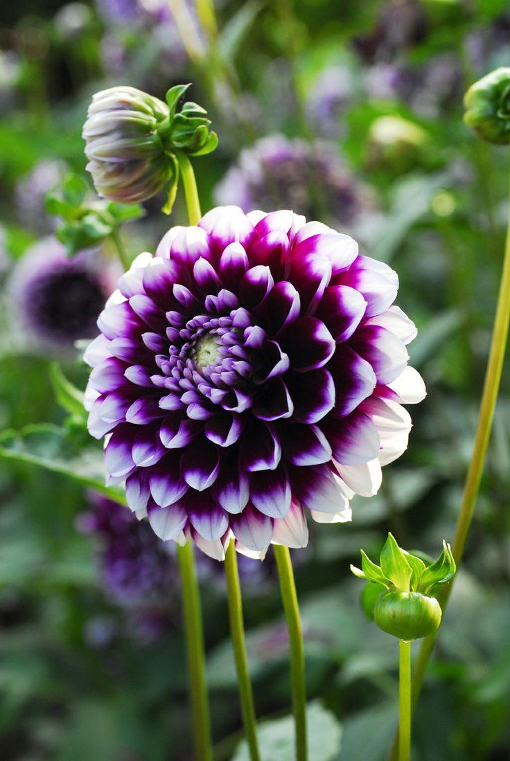 purple dinner plate dahlia - Google Search