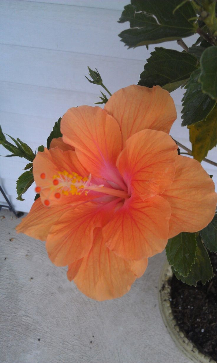 Hawaiian flower<3