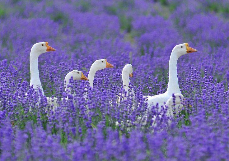 A walk through a lavender field...: