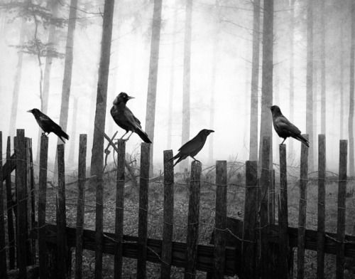 Ravens: Fence, Dark Places, The Ravens, The Edge, Canvas Pictures, Animal Totems, Birds, Crows, Photography