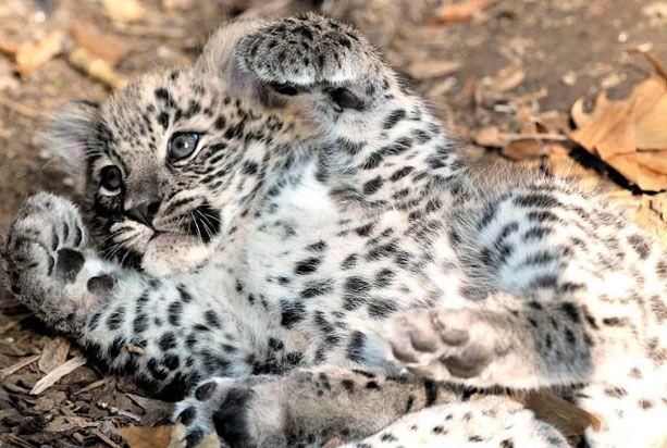 Детеныш персидского леопарда в зоопарке Биопарк в Риме, где он появился на свет 1 сентября этого года. Персидский леопард является одним из самых крупных подвидов леопарда. Кроме того, он находится под угрозой вымирания. Персидские леопарды обитают на территории начиная от восточной Турции и заканчивая западной частью Афганистана. всего популяция в дикой природе насчитывает тысячу животных.