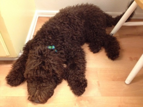 Standard F1b Labradoodle Puppy at home with his new family - Visit our website for more adorable puppy pictures of Labradoodles and Aussiedoodles.