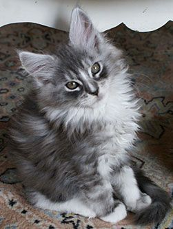 Maine Coon Black Silver Tortie Kitten                                                                                                                                                                                 More