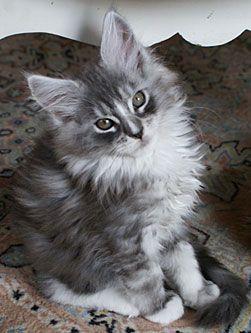 Maine Coon Black Silver Tortie Kitten