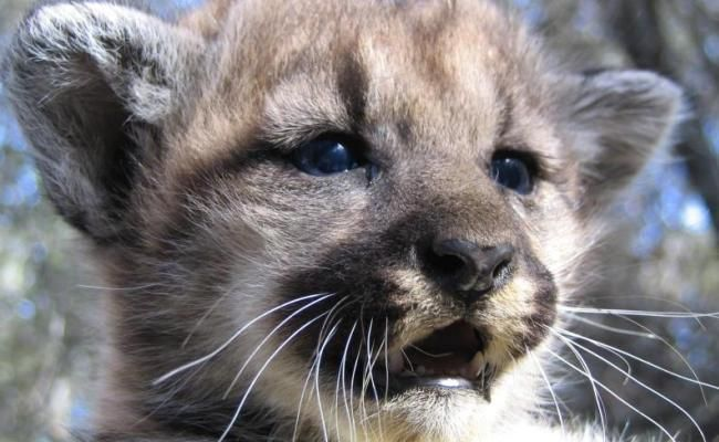 Victory! Land Purchased for Future L.A. Wildlife Corridor..Really good news for mountain lions, bears, deer in California, US